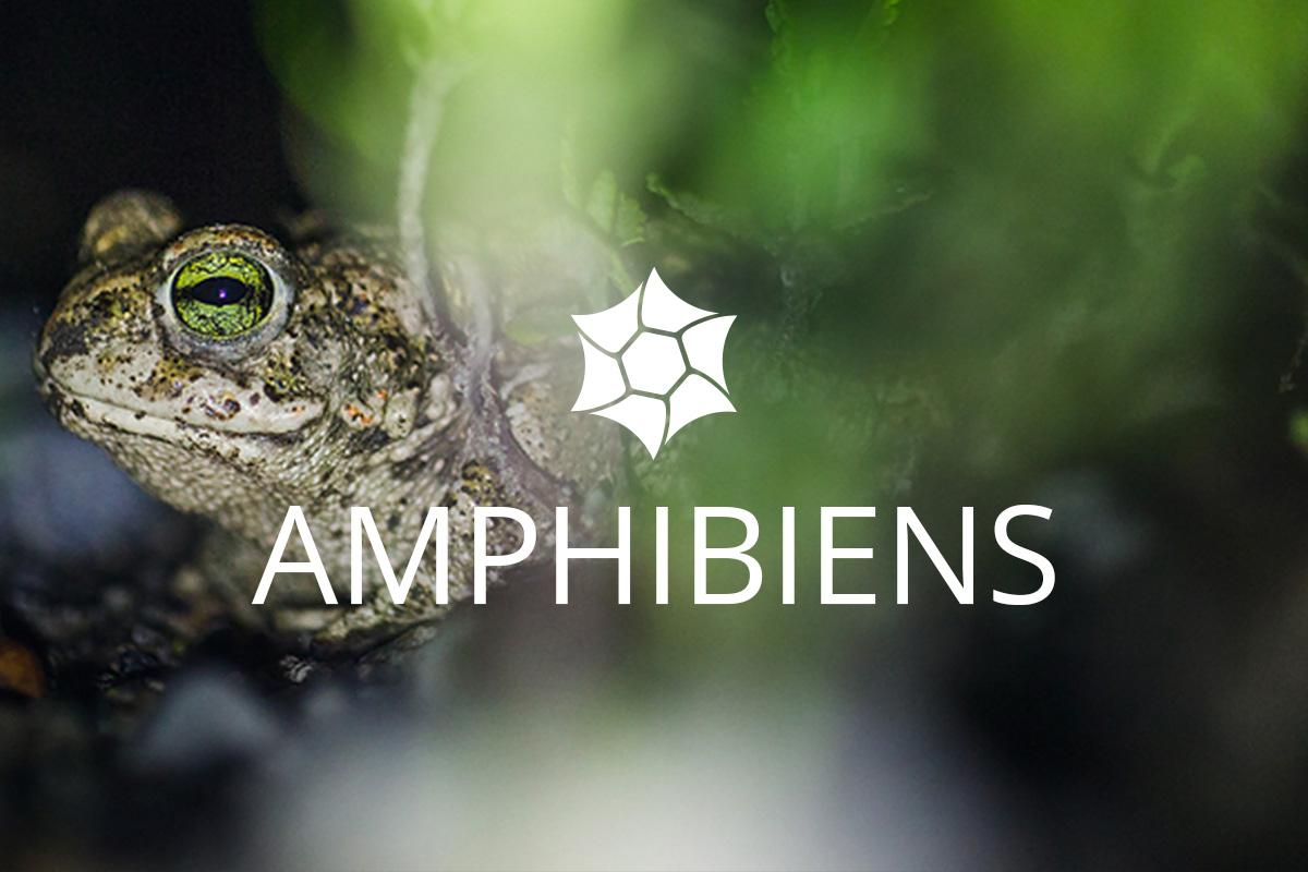 Amphibiens Isles du Drac