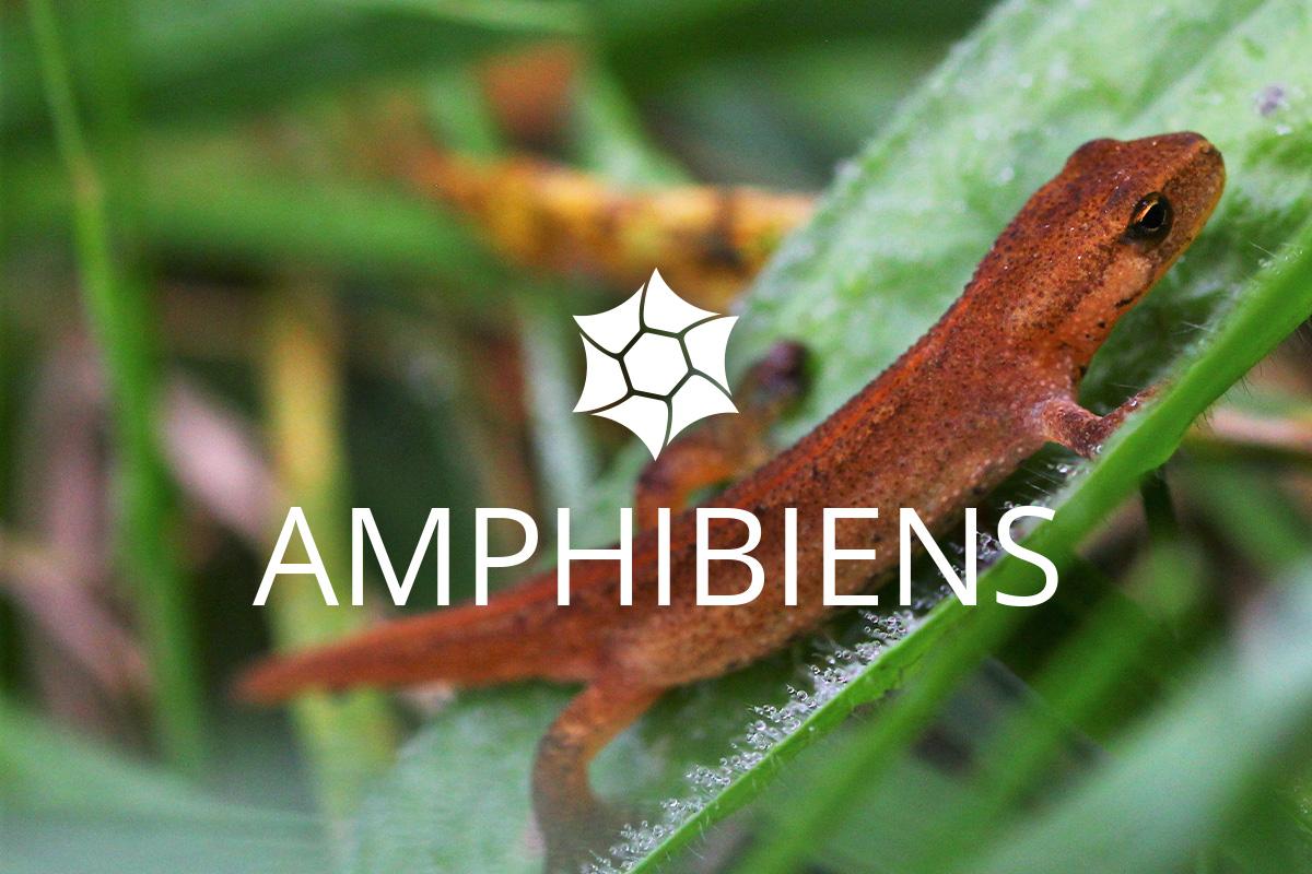 Amphibiens Haute-Jarrie