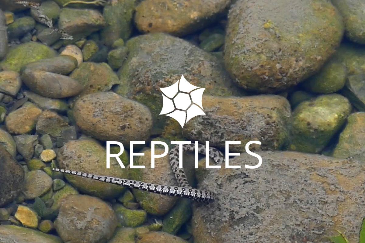 Reptiles Isles du Drac