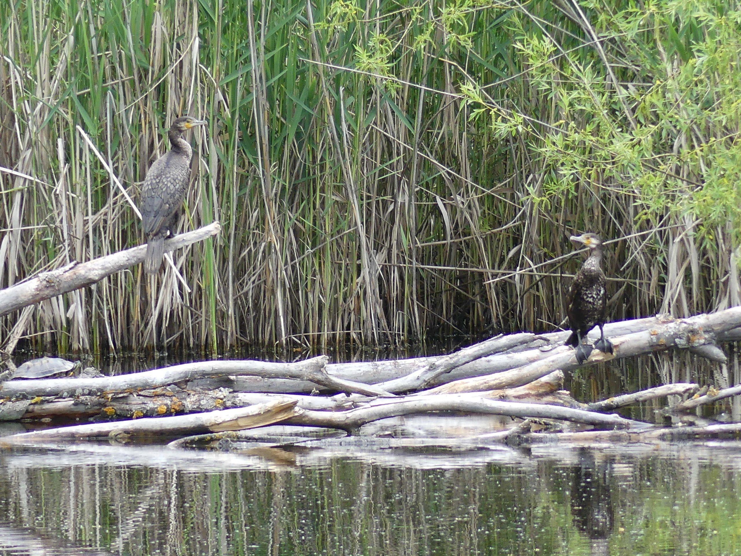 Grands cormorans © RNR Louis S.