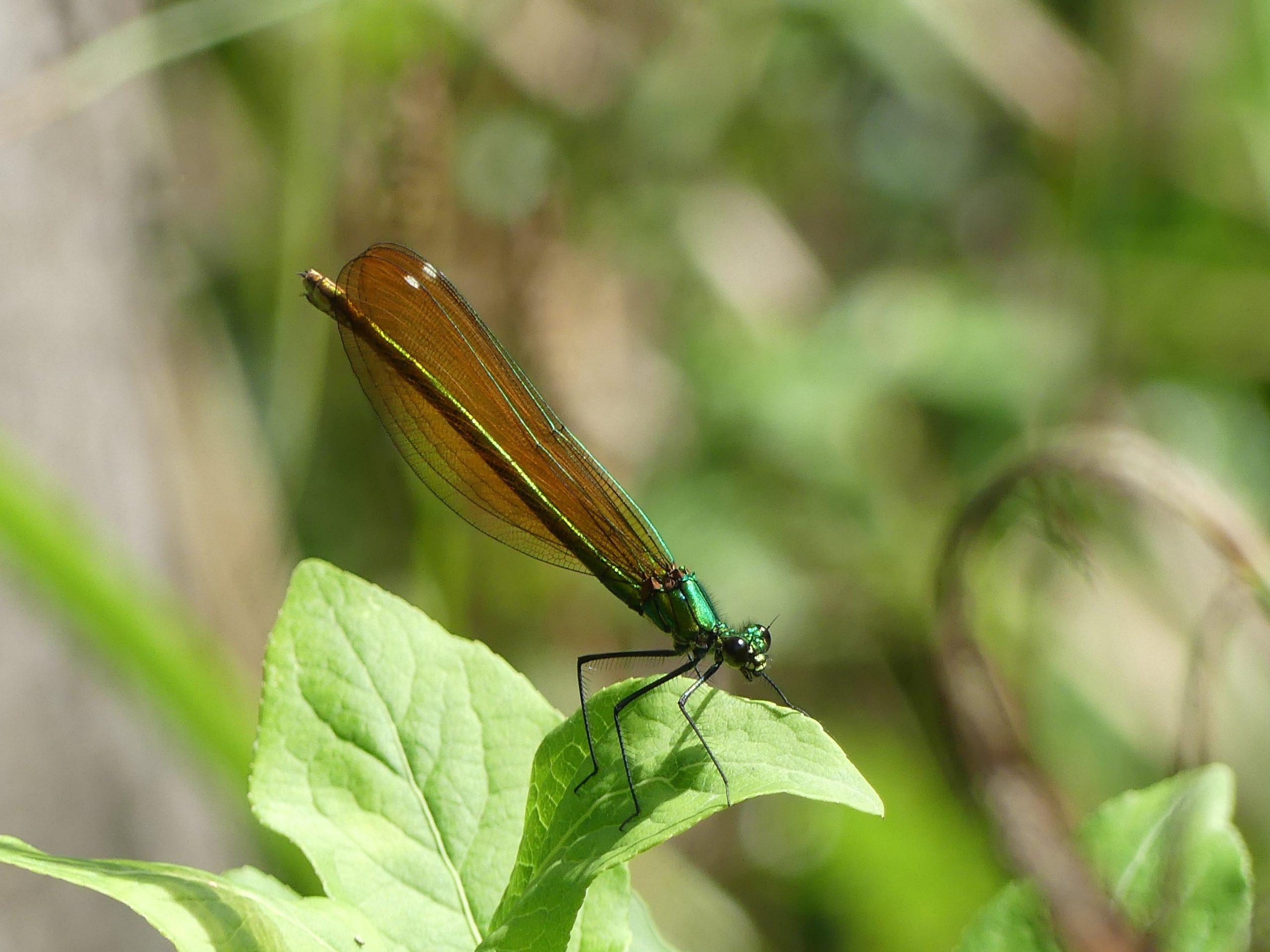 Caloptéryx vierge femelle © RNR Louis S.