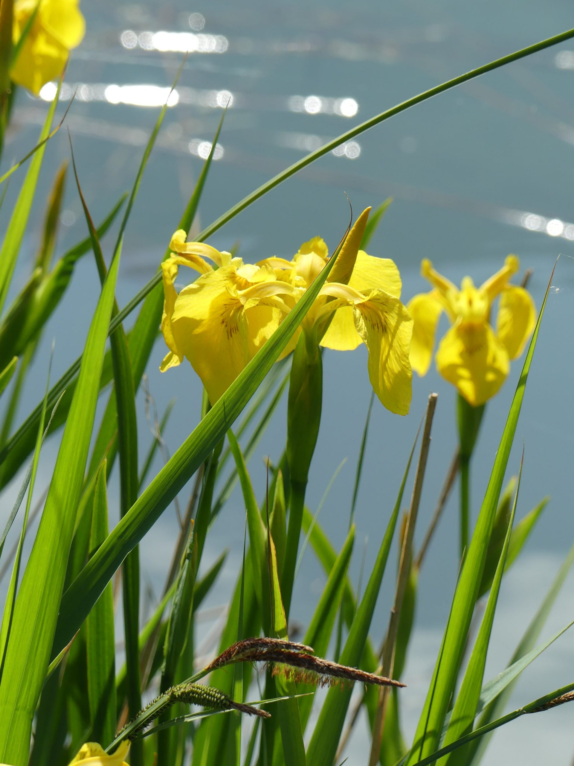 Iris des marais © RNR Louis S.